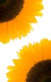 изолированная белизна солнцецвета Стоковое Фото