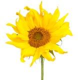 изолированная белизна солнцецвета Стоковое фото RF