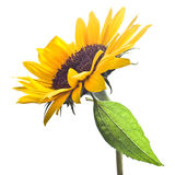 изолированная белизна солнцецвета Стоковые Изображения