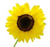 изолированная белизна солнцецвета Стоковое Изображение RF