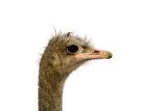 изолированная белизна страуса Стоковое Изображение