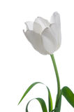 изолированная белизна тюльпана Стоковое фото RF