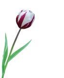 изолированная белизна тюльпана Стоковое Изображение