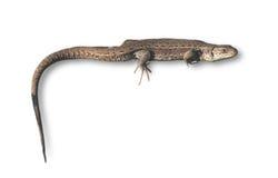 изолированная белизна ящерицы Стоковые Изображения