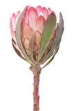 изолированная белизна protea пурпуровая Стоковое Изображение RF