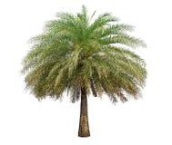 Изолированная большая пальма на белой предпосылке стоковое изображение rf