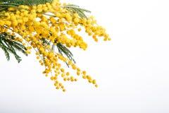 Изолированная весна цветет желтый цвет мимозы Стоковые Фотографии RF