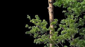 Изолированная ветвь дерева с зелеными листьями акции видеоматериалы
