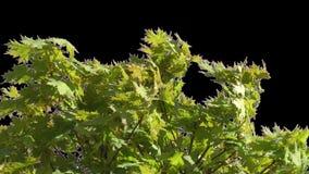 Изолированная ветвь дерева с зелеными листьями видеоматериал
