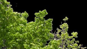 Изолированная ветвь дерева с зелеными листьями сток-видео