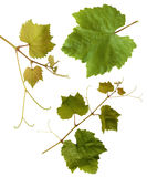изолированная виноградина выходит лоза Стоковое фото RF