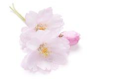 изолированная вишня цветения Стоковое Фото