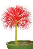 Изолированная голова цветка в горшке multiflorus Scadoxus лилии крови Стоковое фото RF