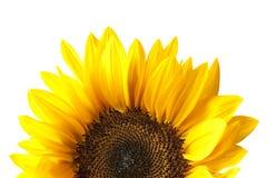 изолированная головкой белизна солнцецвета Стоковое фото RF