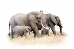 Изолированная группа африканского слона Стоковые Фото