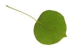 изолированная груша листьев стоковое фото rf