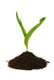 изолированная грязью новая белизна ростка Стоковое Фото