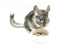изолированная еда шиншиллы Стоковые Фотографии RF