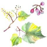Изолированная еда ягоды виноградины здоровая в стиле акварели r Изолированный элемент иллюстрации плода бесплатная иллюстрация
