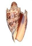 изолированная замечательная раковина моря Стоковая Фотография RF