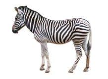 изолированная зебра Стоковая Фотография