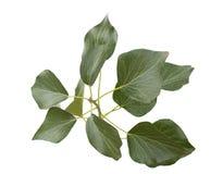 изолированная зеленым цветом белизна плюща Стоковые Изображения RF