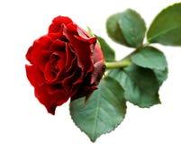 изолированная крупным планом белизна розы красного цвета Стоковое фото RF
