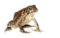 изолированная крупным планом южная белизна жабы Стоковые Изображения