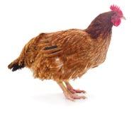 Изолированная курица Брауна стоковые изображения rf