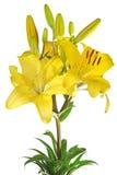 изолированная лилия Стоковое Изображение RF