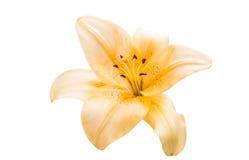 изолированная лилия Стоковое Изображение