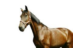 изолированная лошадью белизна портрета Стоковые Изображения RF