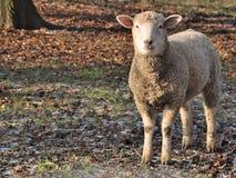 изолированная овечка Стоковые Фото