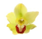 изолированная орхидея Стоковые Изображения