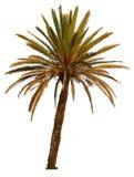 изолированная пальма Стоковые Фото