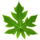 изолированная папапайя листьев Стоковые Фотографии RF