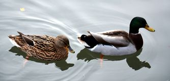 Изолированная пара ducks на пруде, естественном изображении Стоковое Изображение