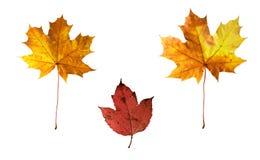 изолированная предпосылка осени выходит белизна Стоковые Изображения