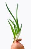 изолированная предпосылкой белизна весны лука Стоковое Фото