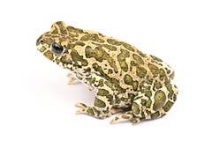 изолированная предпосылкой белизна жабы Стоковое Изображение