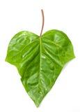 изолированная предпосылкой белизна листьев плюща Стоковое Изображение