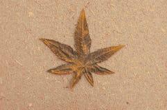 изолированная предпосылкой белизна марихуаны листьев Стоковое Изображение RF