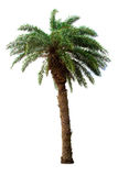 изолированная предпосылкой белизна пальмы Стоковое Изображение RF