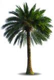 изолированная предпосылкой белизна пальмы Стоковая Фотография RF