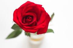 изолированная предпосылкой белизна розы красного цвета стоковые изображения rf