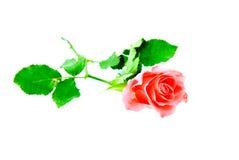 изолированная предпосылкой белизна розы пинка Стоковые Изображения