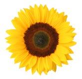 изолированная предпосылкой белизна солнцецвета Стоковая Фотография