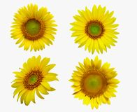 изолированная предпосылкой белизна солнцецвета Стоковые Фотографии RF