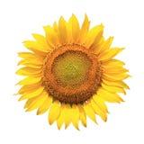 изолированная предпосылкой белизна солнцецвета Стоковые Изображения