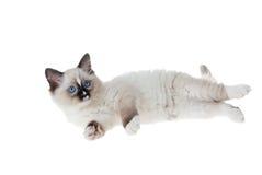 изолированная предпосылкой белизна ragdoll котенка стоковое изображение